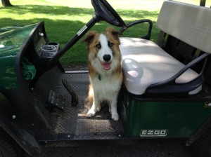 Bunker helps out around the course and loves going for golf cart rides!